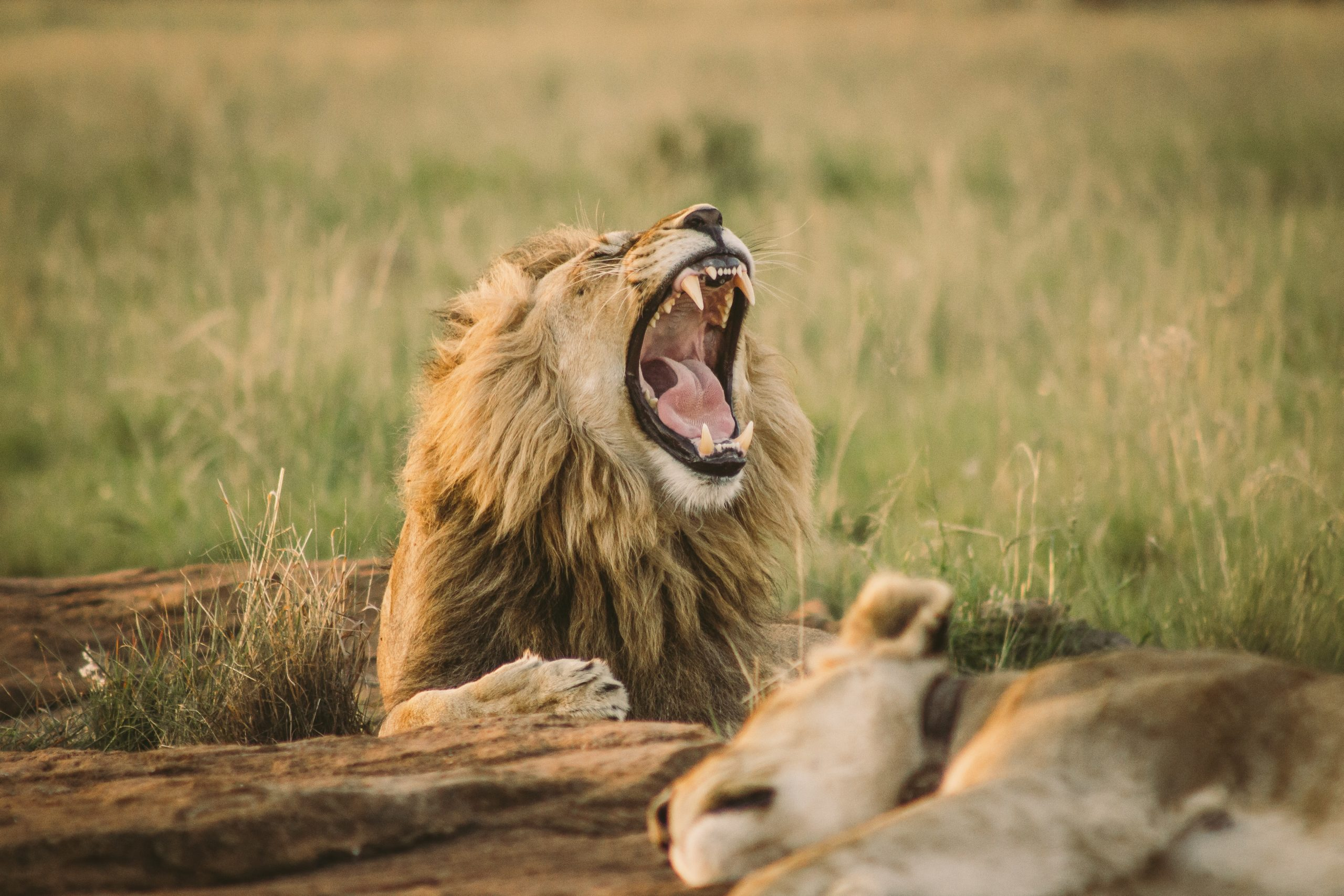 Lion screaming